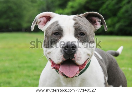 Happy Purebred Cow Patch Blue Nose Canine American Bully 9 month old Dog close up head shot - stock photo