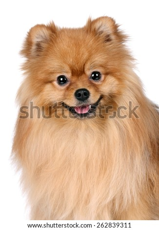 Happy red dog on a white background, portrait - stock photo