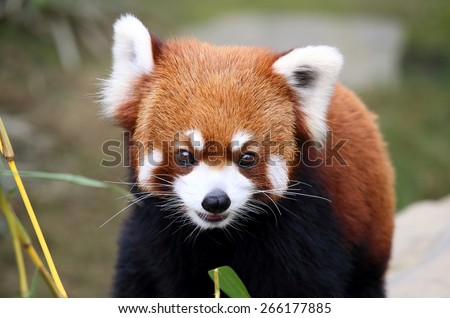 happy red panda, endangered animal in China - stock photo