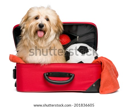 Happy reddish Bichon Havanese dog is sitting in a red traveling suitcase with his soccer ball and toys and waiting for departure - Isolated on a white background - stock photo