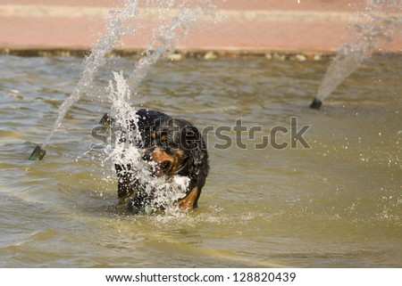 Happy Rottweiler Playing in the Water Fountain on a Hot Summer Day.