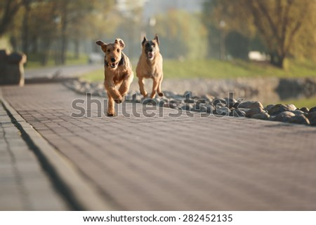 happy run purebred airedale dog terrier outdoors - stock photo