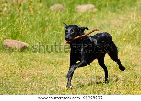 Happy Running Dog - stock photo