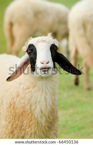Happy sheep with smile enjoying glass on sunny day - stock photo