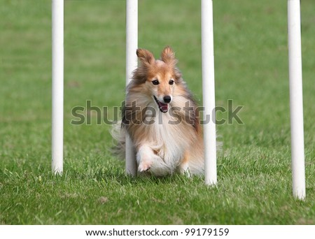 Happy Sheltie going through an Agility Weave Poles - stock photo