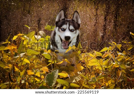 Happy Siberian Husky wolf color playing in the grass. Dog enjoying the sunshine on a yellow field of soybeans. - stock photo