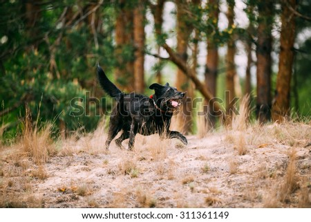 Happy Small Size Black Hunting Dog Running in Autumn Forest. - stock photo