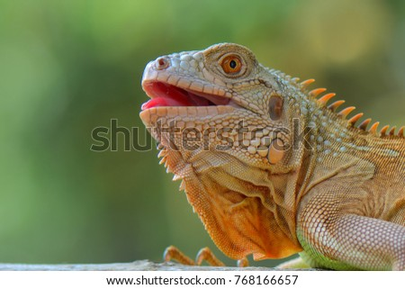 Image result for images of happy iguana