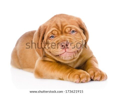 happy smiling Bordeaux puppy dog. isolated on white background - stock photo