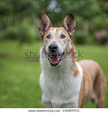 Happy smooth collie standing on the grass