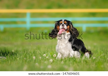 Happy spaniel on a summer outing - stock photo