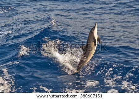 Happy spinner dolphin - stock photo