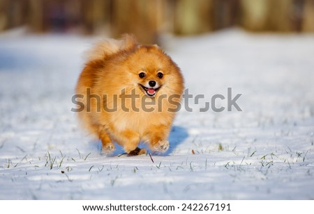 happy spitz dog running on snow - stock photo