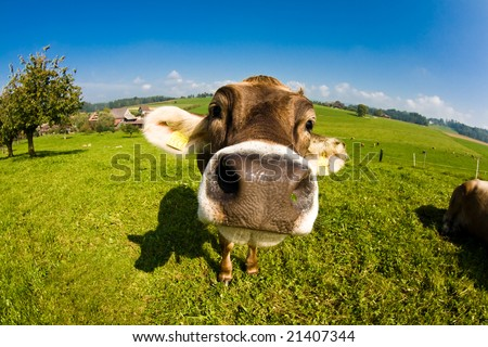 Happy swiss cow, funny fisheye nose shot