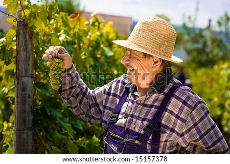 Happy vintner in french straw examining the grapes during the vintage. - stock photo