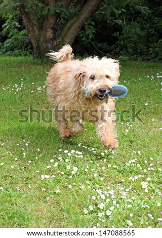 Happy Wheaten terrier running outside with a dog brush in its mouth, wanting a groom. - stock photo