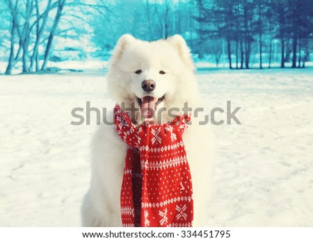 Happy white Samoyed dog on snow in winter day - stock photo