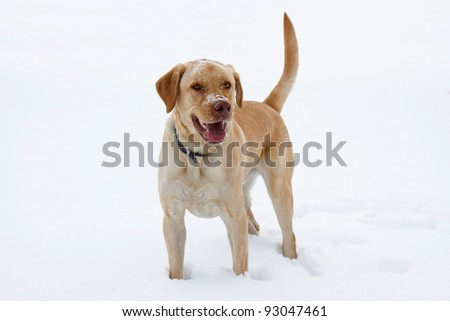 happy with his snoot and head sprinkled with snow, a yellow labrador smiles wide in an open field of white powder; panting with open mouth lab shows his tongue that is dripping with saliva. - stock photo