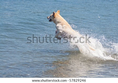 Happy yellow Lab jumping into the ocean water to retrieve a stick on a beautiful sunny day at a beach.