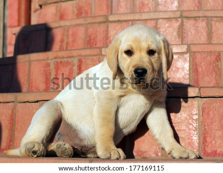 happy yellow labrador puppy portrait close up at the door - stock photo