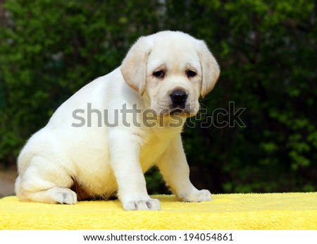 happy yellow labrador puppy sitting on yellow background