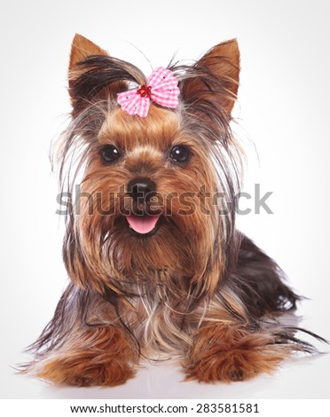 happy yorkshire terrier puppy dog lye down  on studio background - stock photo