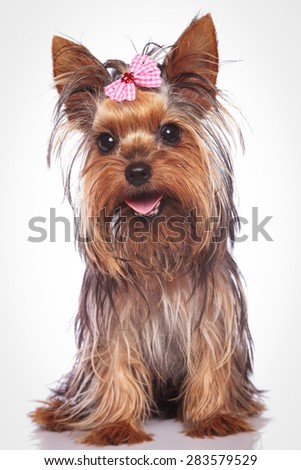 happy yorkshire terrier puppy dog sitting on studio background  - stock photo