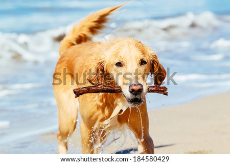 Happy Young Golden Retriever.  Adorable Dog Running on the Beach Fetching Stick - stock photo