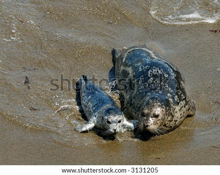 Harbor Seal and Her Pup at Point Lobos, California - stock photo