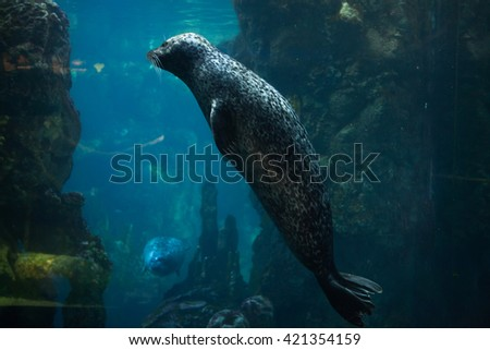 Harbor seal (Phoca vitulina), also known as the common seal. Wild life animal.  - stock photo