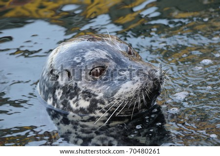 Harbor seal swimming in inner harbor, victoria, british columbia, canada