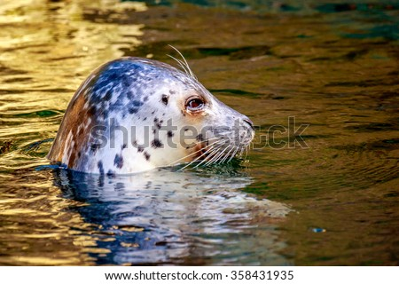 Harbor seal with spotted coat and large, round, soulful-looking eyes. - stock photo