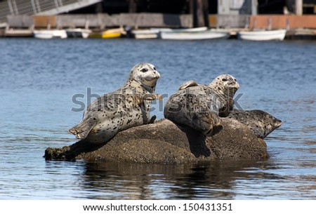Harbor Seals at Rest on Rocks in Monterey Bay, California - stock photo