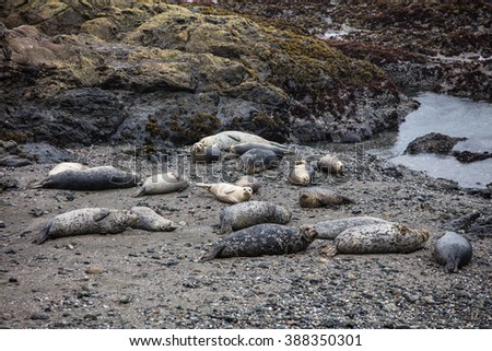 Harbor seals rest on a rocky beach along the Sonoma coast in northern California. Seals are common in this area and are the preferred prey of local Great White sharks. - stock photo