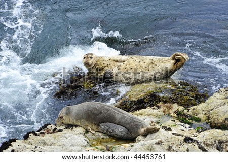 Harbor seals resting at high tide in Monterey Bay, California - stock photo