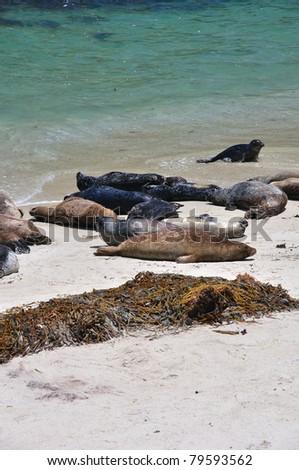 Harbor seals sun themselves on the beach in La Jolla, California. - stock photo