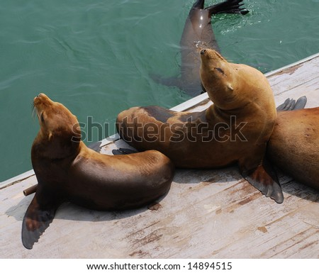 Harbor seals sunning on a dock at Santa Cruz, Monterey Bay, California - stock photo