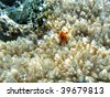 Hard coral and red Christmas tree worm (Spirobranchus giganteus) - stock photo