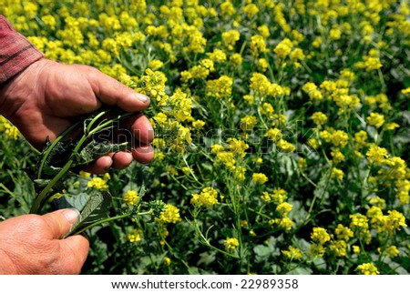 Hard working farmer's hands hold canola plant. - stock photo