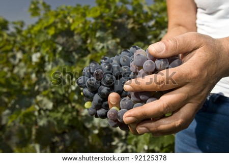 Hard working hands holding a bunch of grapes outdoors - stock photo