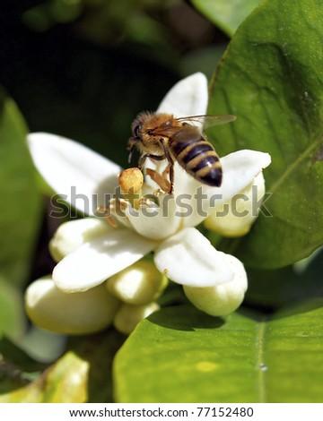 hard working honey bee on white flower - stock photo