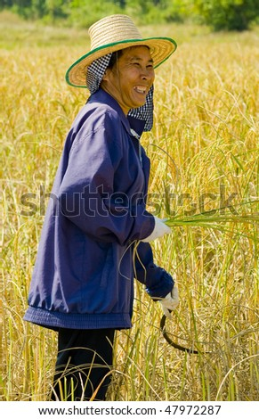 hard working woman cutting rice in the fields - stock photo