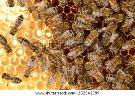 hardworking bees on honeycomb - stock photo