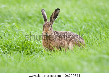 Hare (Lepus europaeus) in fresh green meadow.
