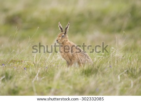 Hare on the grass