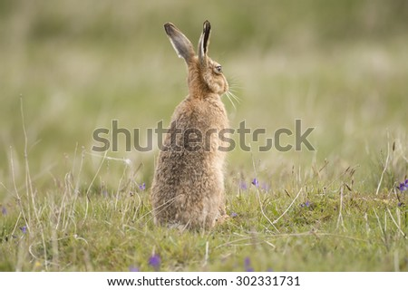Hare on the grass, close up