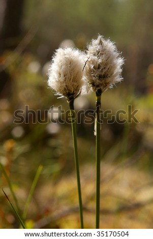 hare's tail cottongrass - stock photo