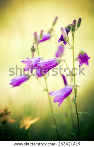 Harebells (Campanula) wild flowers on summer meadow