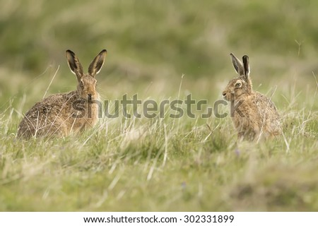 Hares on the grass