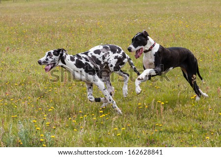 Harlequin and Boston Great Danes running and playing in a field of dandelions. - stock photo